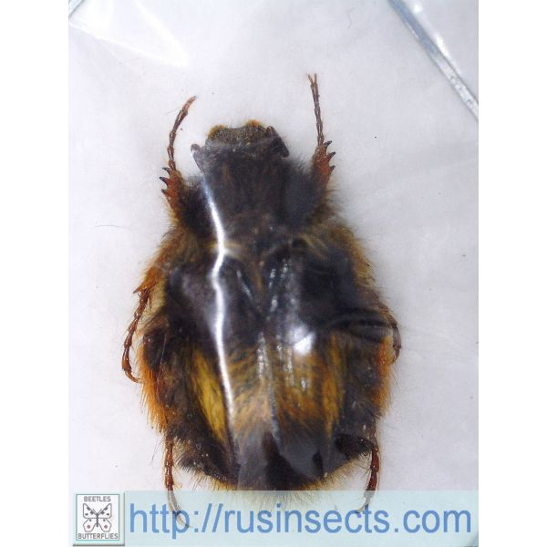 Scarabaeidae, Cetoniinae Bombodes ursus N Thailand 18.00