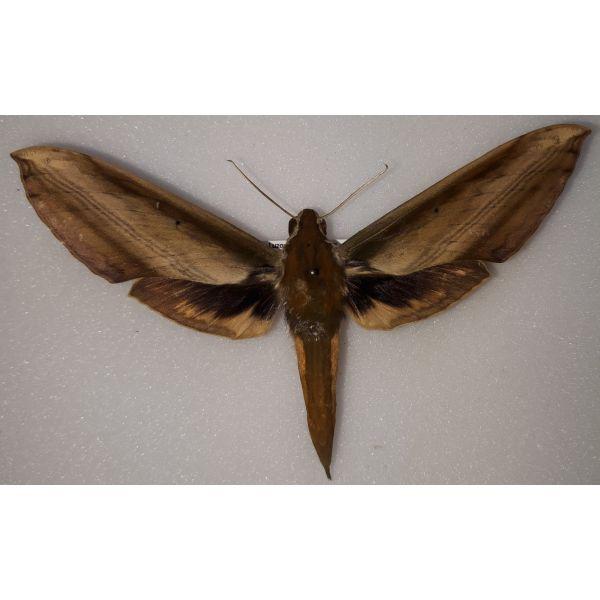 Sphingidae Theretra nessus female