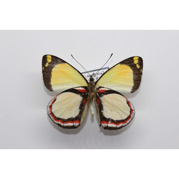 Delias nieuwenhuisi poponga PAPUA - Pieridae, Butterfly