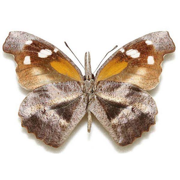LIBYTHEANA CARINETA MEXICANA***male***MEXICO,Chiapas(papered,not mounted)