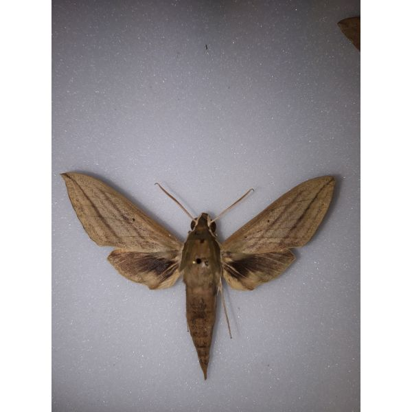 Sphingidae Thererta insularis male from PNG