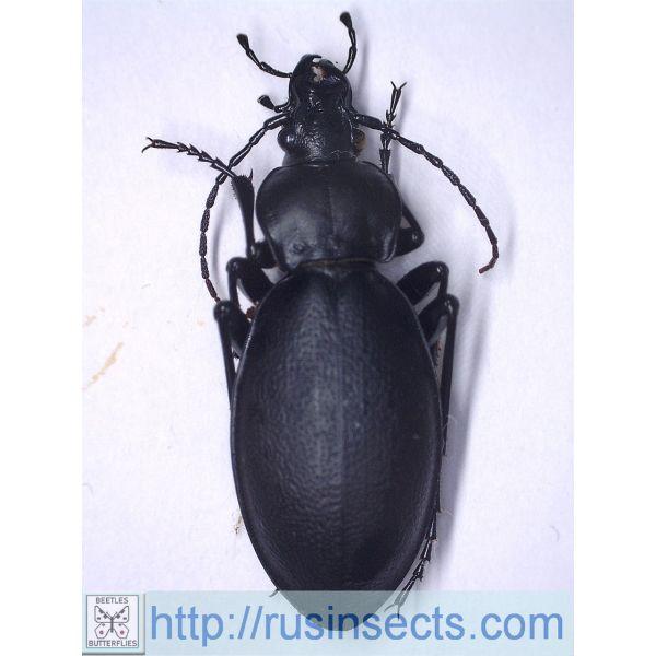 Carabidae, Carabinae, Carabus Carabus (Procrustes) coriaceus emgei Greece