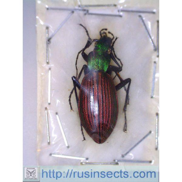 Carabidae, Carabinae, Ceroglossus Ceroglossus chilensis gloriosus Chile