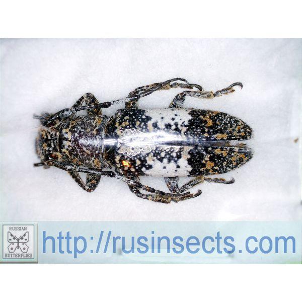 Cerambycidae, Lamiinae, Pteropliini Callimetopus capito Philippines (N Luzon)