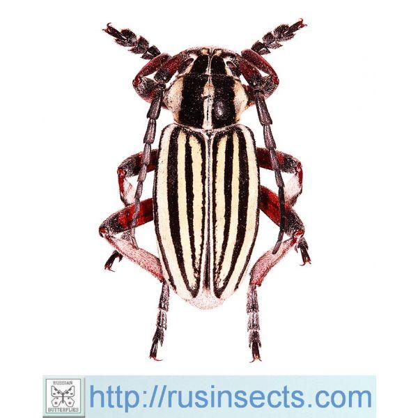 Cerambycidae, Lamiinae, Dorcadionini Dorcadion (Acutodorcadion) alexandris