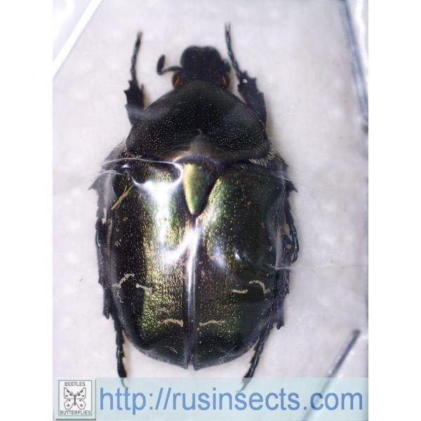 Scarabaeidae, Cetoniinae Potosia metallica daurica Russia, SE Siberia (S Chita reg.)