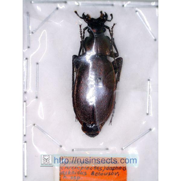 Carabidae, Carabinae, CarabusCarabus (Archiplectes) daphnis askhicus Georgia (black colour) PT