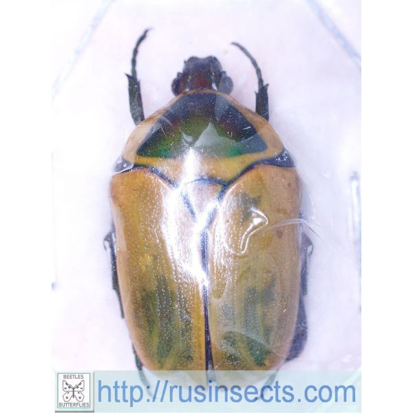 Scarabaeidae, Cetoniinae Dischista cincta cincta Namibia