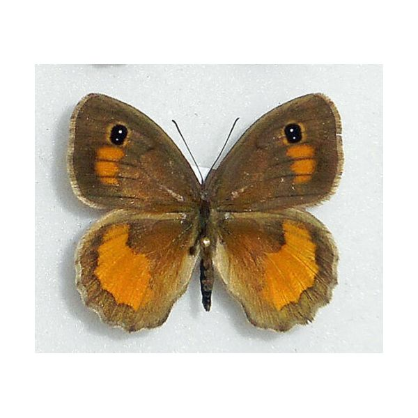 PYRONIA JANIROIDES***male Nr.2****TUNISIA(unmounted-papered)