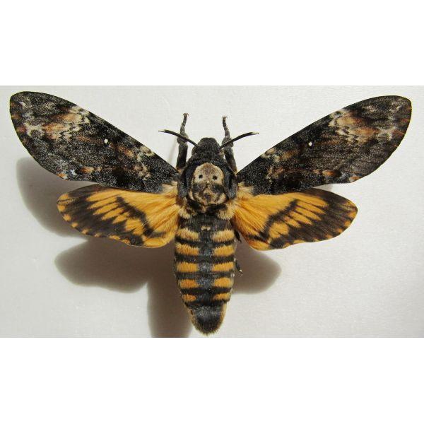 Moth Sphingidae Acherontia atropos ex pupae