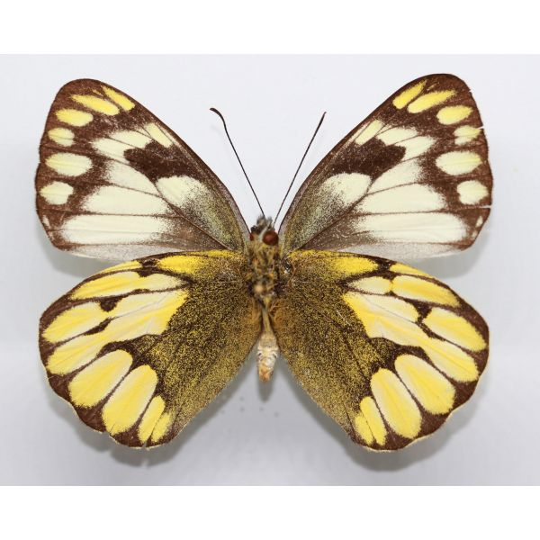 DELIAS SCHOENIGI SCHOENIGI female - Mindanao - Philippines, butterfly, entomology