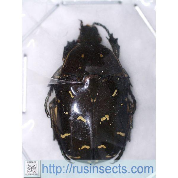 Scarabaeidae, Cetoniinae Protaetia (Protaetia) ducalis Philippines (N Luzon)