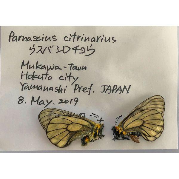 PARNASSIUS CITRINARIUS CITRINARIUS * PAIR****JAPAN(unmounted,papered)