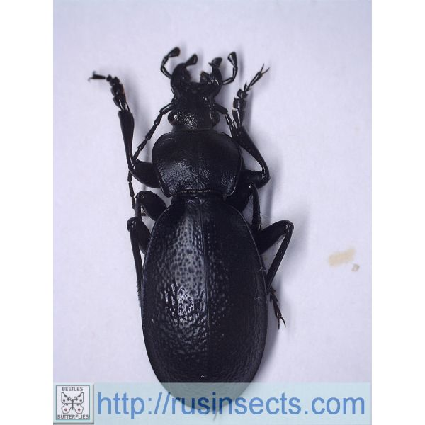 Carabidae, Carabinae, Carabus Carabus (Procrustes) coriaceus olympicola Greece