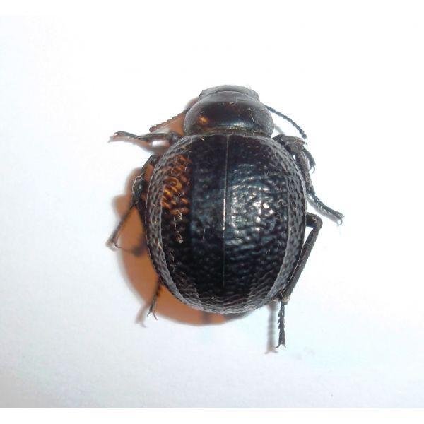 Coleoptera: Tenebrionidae Pimelia sp.