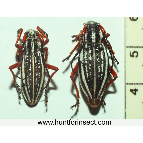 Dorcadion pantherinum pair, A+quality
