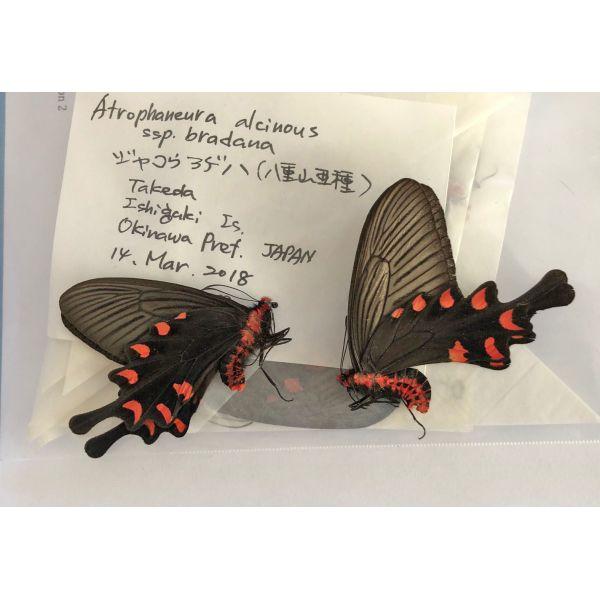 ATHROPHANEURA ALCINOUS BRADANA * PAIR****JAPAN(unmounted,papered)