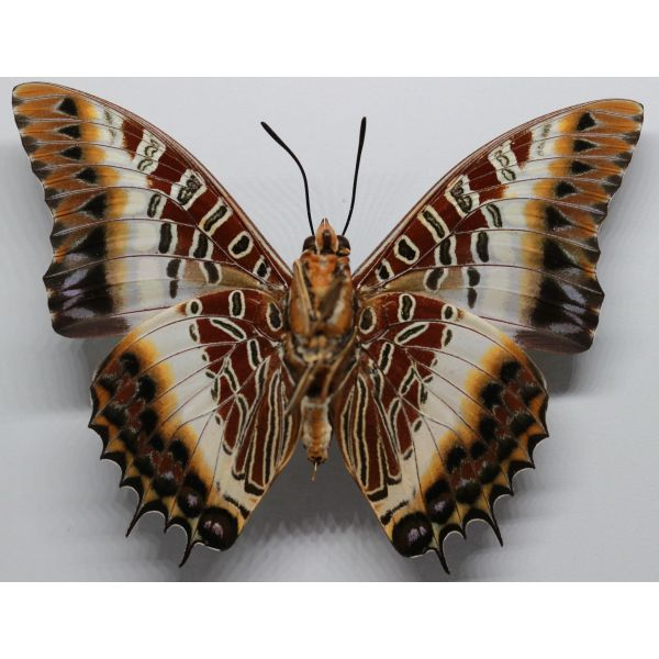 Charaxes brutus angustus - R.C.A. - Nymphalidae, butterfly
