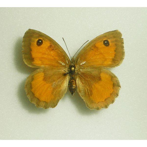 PYRONIA JANIROIDES***female Nr.2****TUNISIA(unmounted-papered)