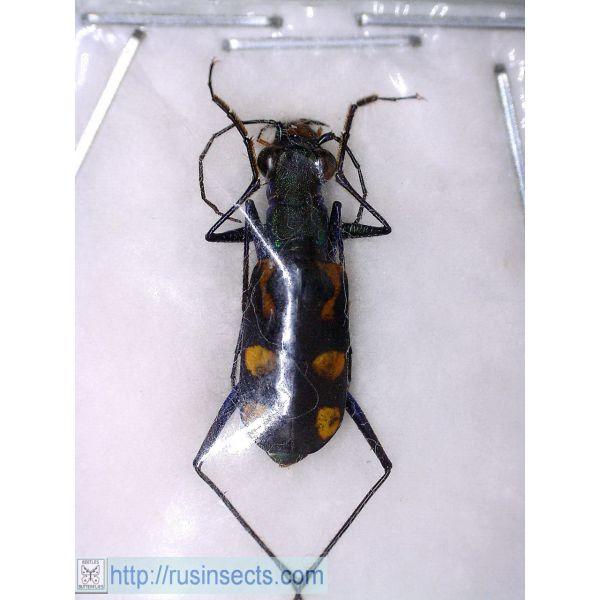Cicindelidae, Cicindelini Cicindela (Calochroa) elegantula N Thailand