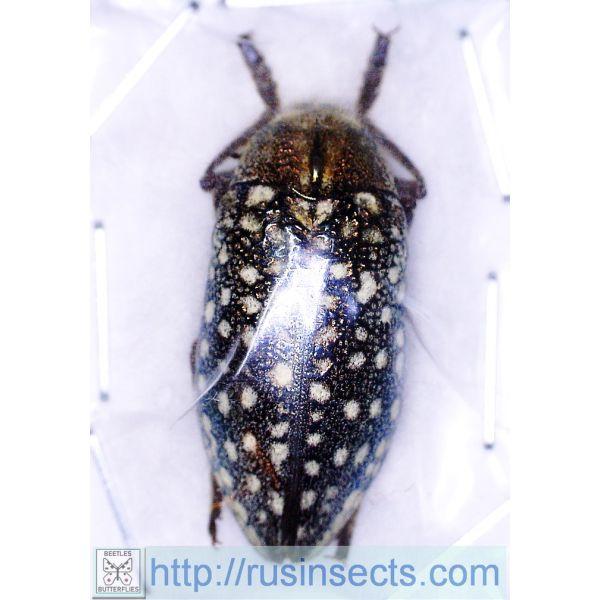 Buprestidae Julodis variolaris variolaris W Kazakhstan (Mangystau reg.)