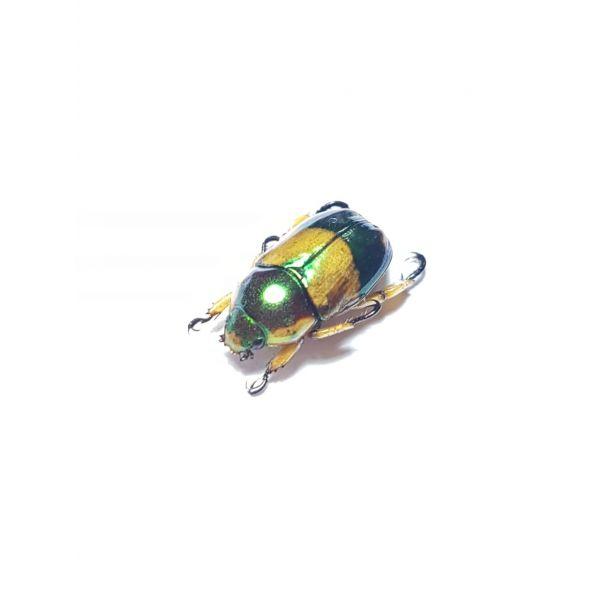 Pelidnota pulchella