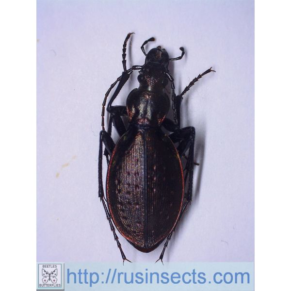 Carabidae, Carabinae, Carabus Carabus (Platycarabus) creutzeri kircheri Italy 5.00