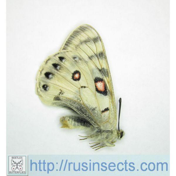Papilionidae Parnassius davydovi davydovi Kirgizstan (Naryntoo Mt. rng.) (ex pupa) m