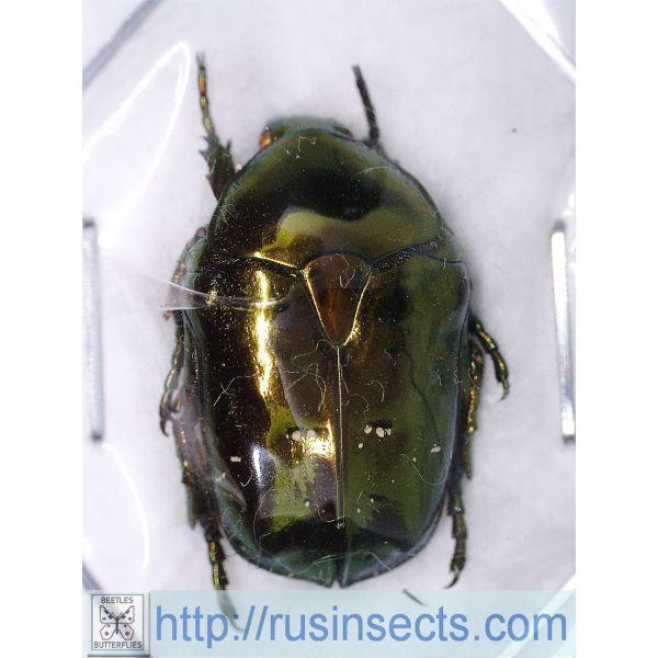 Scarabaeidae, Cetoniinae Protaetia (Chrysopotosia) minshanensis China (N Sichuan)