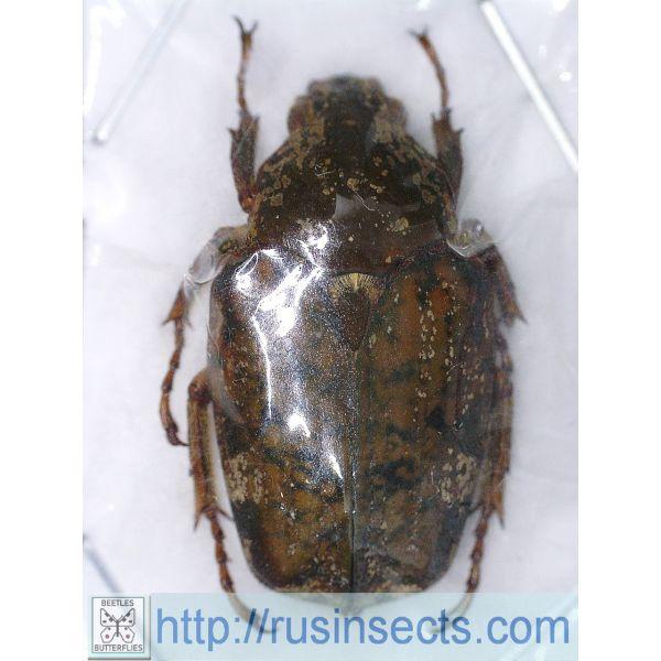 Scarabaeidae, Cetoniinae Pseudinca camerunensis Cameroun