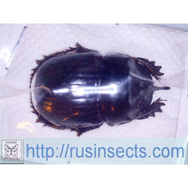 Scarabaeidae, Scarabaeinae Copris repertus N Thailand male