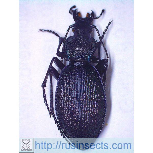 Carabus Carabus (Megodontus) caelatus sarajevoensis (black-green colour) Bosnia and Herzegovina