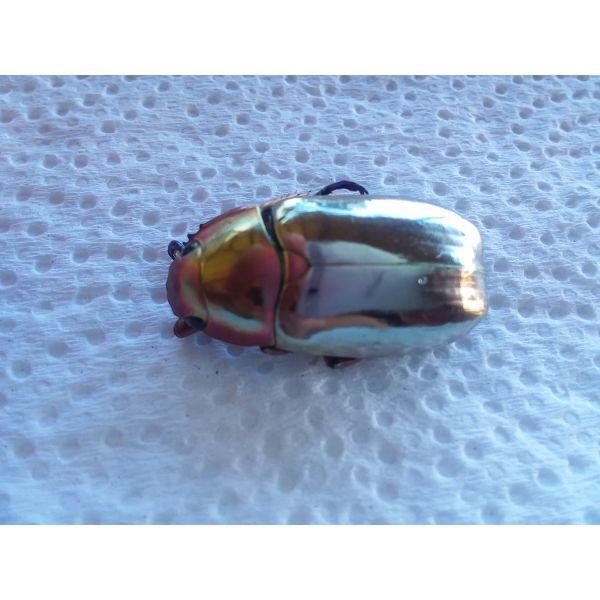 Chrysina chrysargirea XL Silver Scarab Beetle A1 Mt.Chirripo, Costa Rica