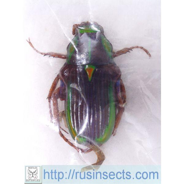 Scarabaeidae, Cetoniinae Pygora pouillaudei Madagascar