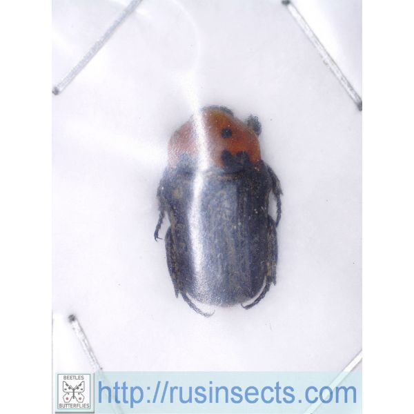 Scarabaeidae, Cetoniinae Glycyphana macquarti malesiana W Malaysia (Pahang)