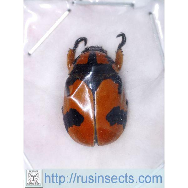 Scarabaeidae, Rutelinae Rutelarcha bakeri Philippines (N Luzon) A-