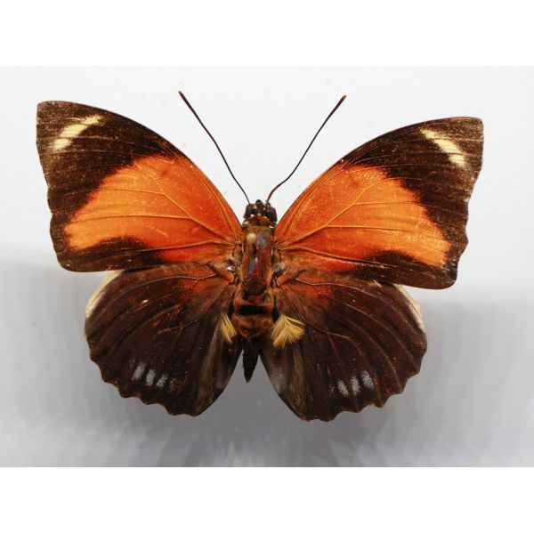 +++ AGRIAS PERICLES AURANTIACA male RED FORM ,BRAZIL, Nymphalidae +++