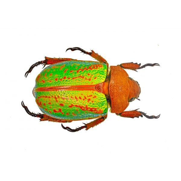 CHRYSINA PLUSIOTIS VICTORINA RUTELIDAE - A1 - from South East Mexico