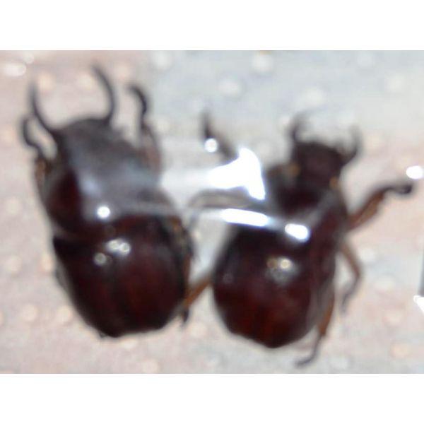 V068 RUTELIDAE Didrepanephorus yunnanus clermonti 2M A1 21/23mm Vietnam