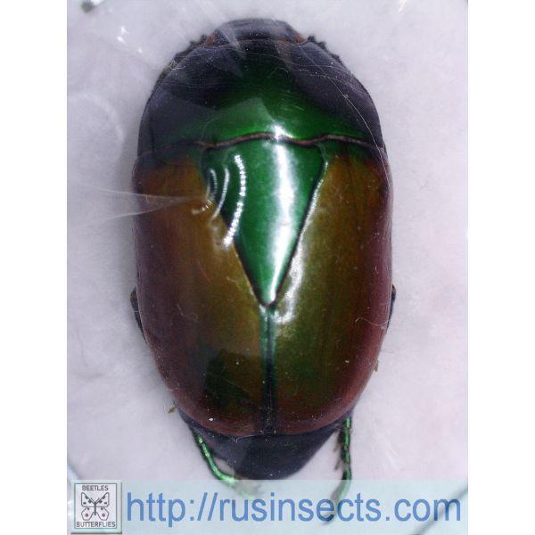 Scarabaeidae, Rutelinae Macraspis peruviana Peru