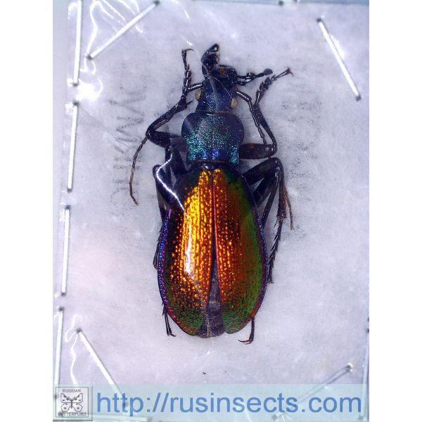 Carabidae, Carabinae, Carabus Carabus (Chrysotribax) hispanus latissimus France