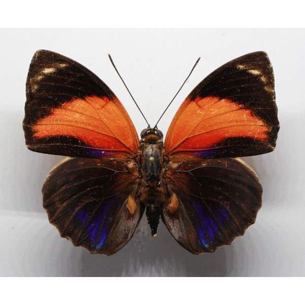 +++ AGRIAS PERICLES MAUENSIS form PRETIOSA, male,BRAZIL, Nymphalidae +++
