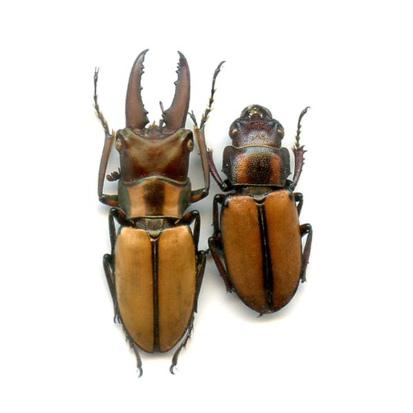 Cyclommatus pahangensis chiangmaiensis - A1 Pair, male 28 mm - LAOS - LUCANIDAE