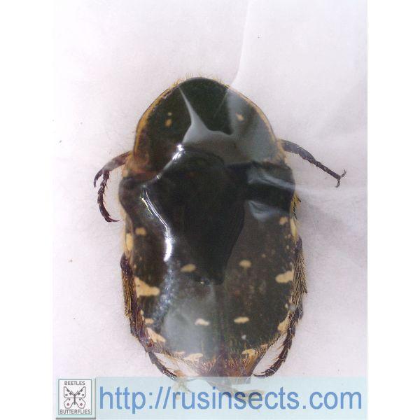 Scarabaeidae, Cetoniinae Gametis forticula formosana (red colour) Taiwan