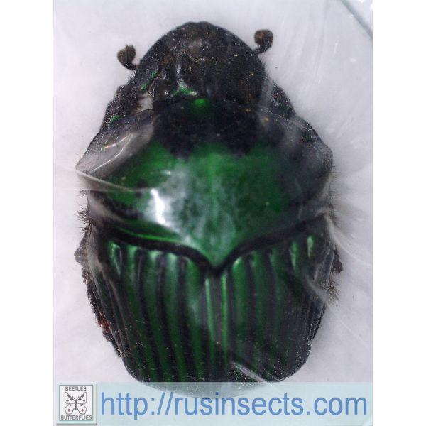 Scarabaeidae, Scarabaeinae Oxysternon conspicillatum Paraguay (green colour) male A-