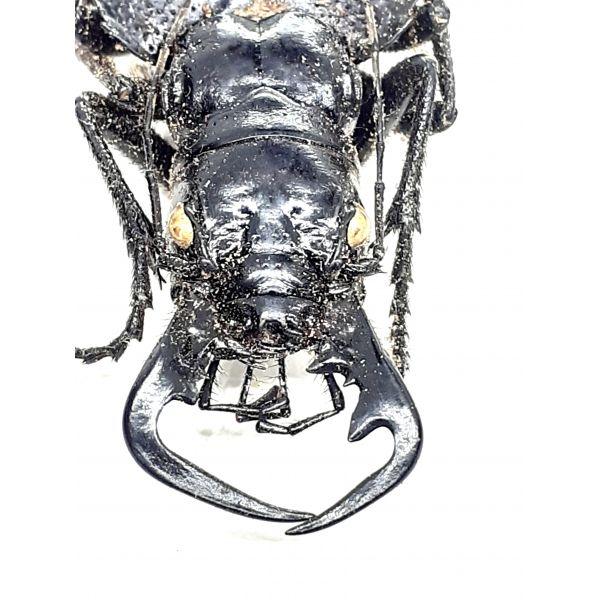 30671, Carabidae, Cicindelinae, Manticora sp., GOOD SIZE!!!