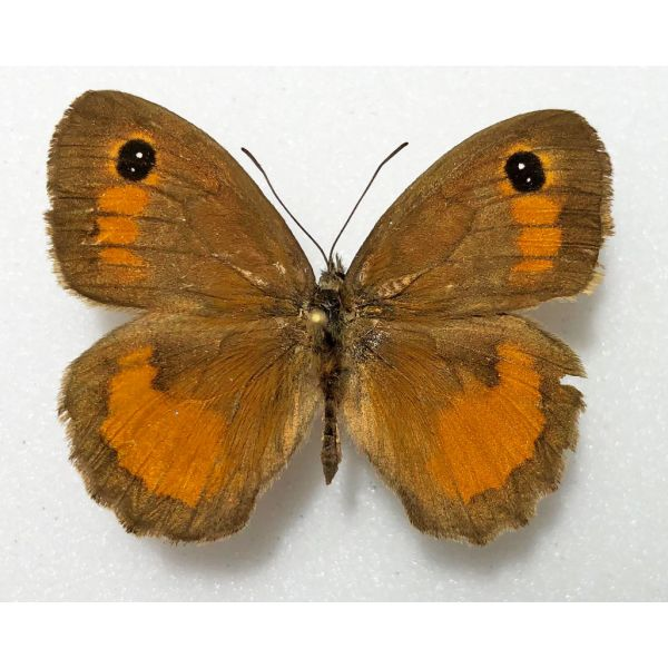 PYRONIA JANIROIDES***male Nr.4****TUNISIA(unmounted-papered)