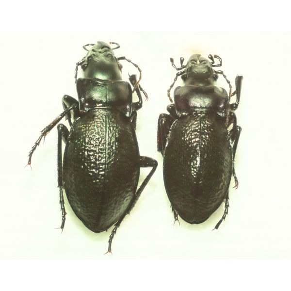 Carabus solskyi pair, A+quality