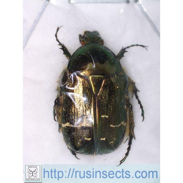 Scarabaeidae, Cetoniinae Cetonia (s. str.) aurata aurata S Russia (Voronezh reg.) (green colour)