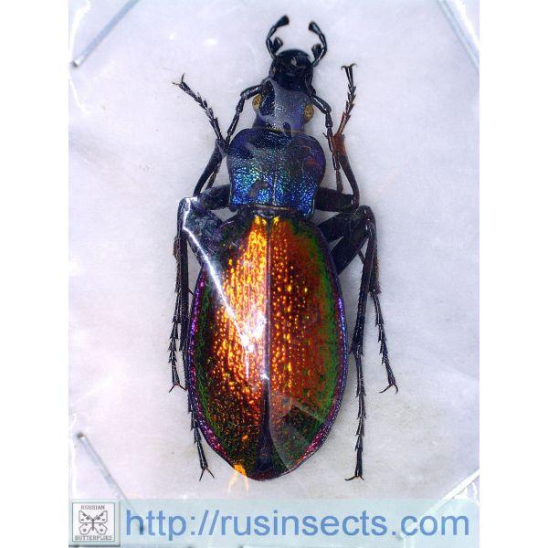 Carabidae, Carabinae, Carabus (Chrysotribax) hispanus boudeti (dromesis auct.) France